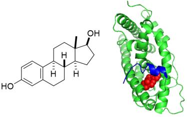 25032017-Oestradiol-Receptor